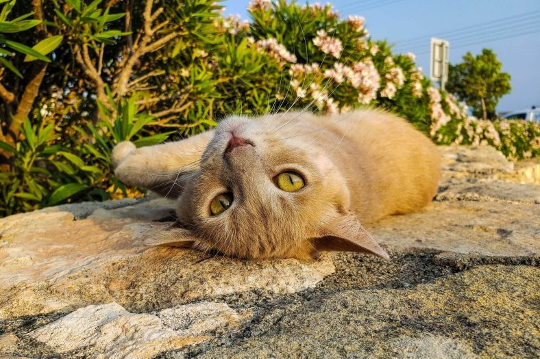 Kıbrıs Kedi Cinsi