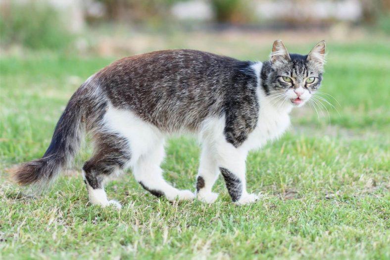 Kıbrıslı Kedi