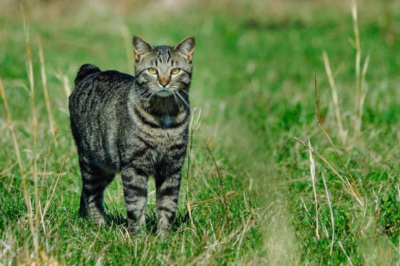 Kuyruksuz Kedi