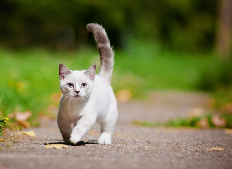 Munchkin Kedi