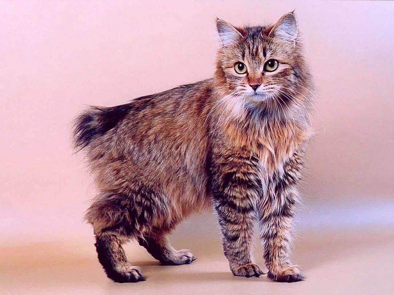Pixie Bob Kedi Cinsi