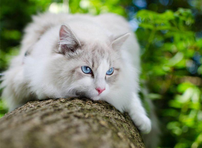 Ragdoll Kedi Cinsi