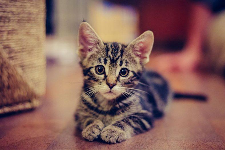 Yavru Kedi Eve Nasıl Alıştırılır?