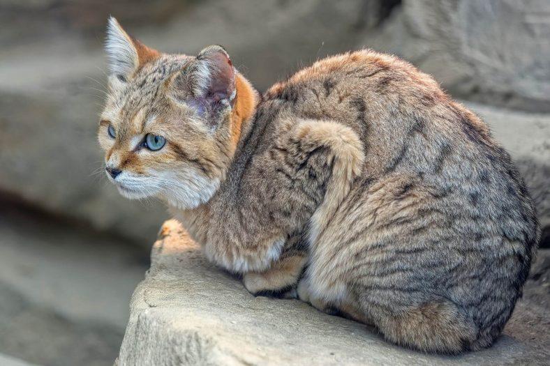 Kum Kedisi (Benekli Kedi)
