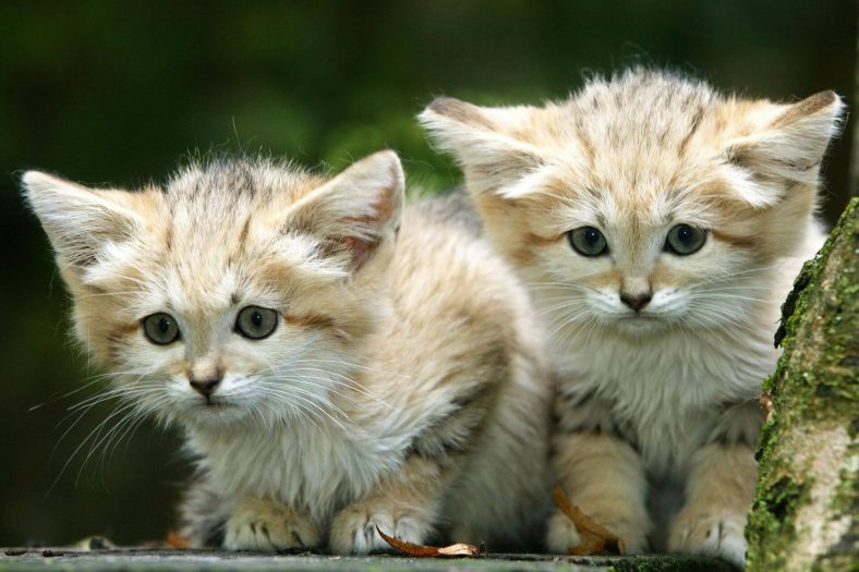 Kum Kedisi (Benekli Kedi) Yavrusu
