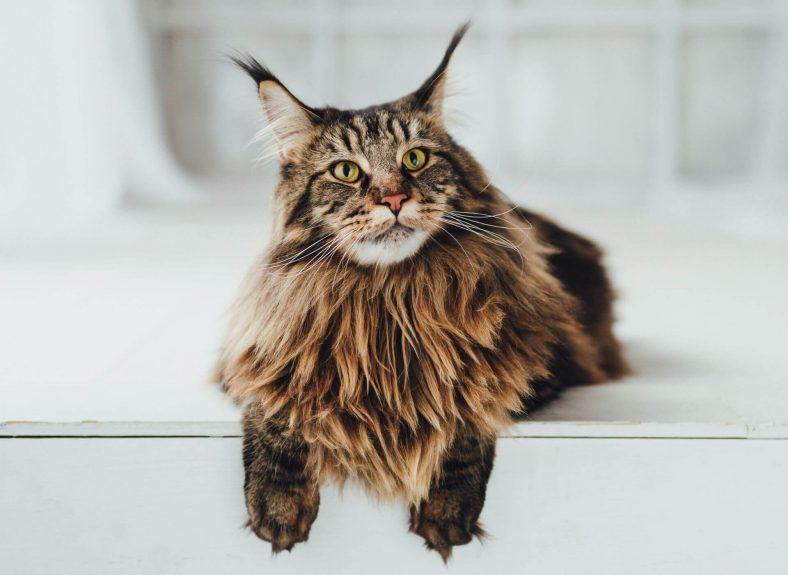 Maine Coon: En Büyük Kedi Cinsi