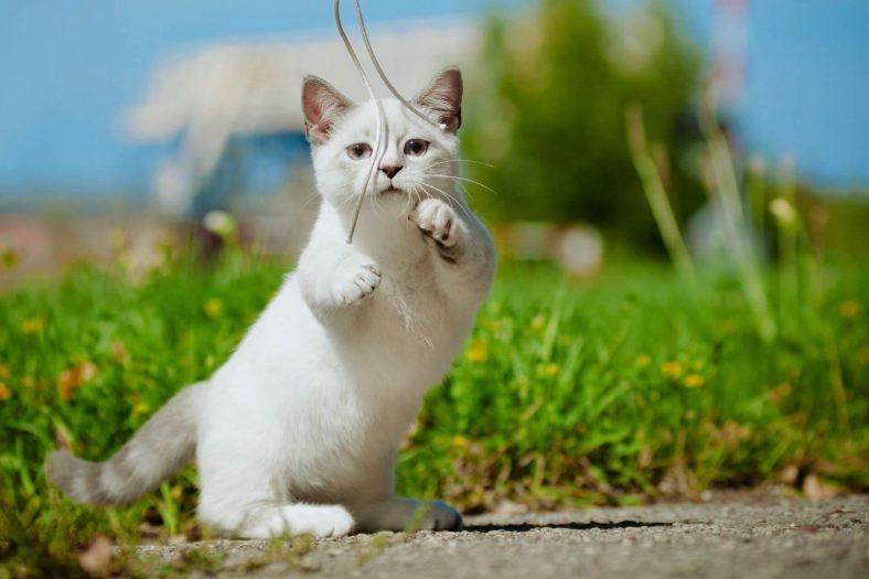 Munchkin Kedi: Minik Kedi Cinsi