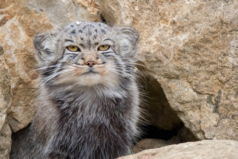 Pallas Kedi