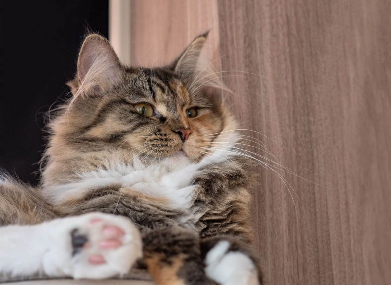 Ragamuffin Cinsi Kedi