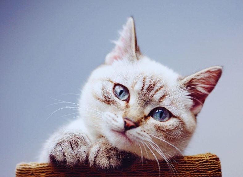 Ragamuffin Kedi