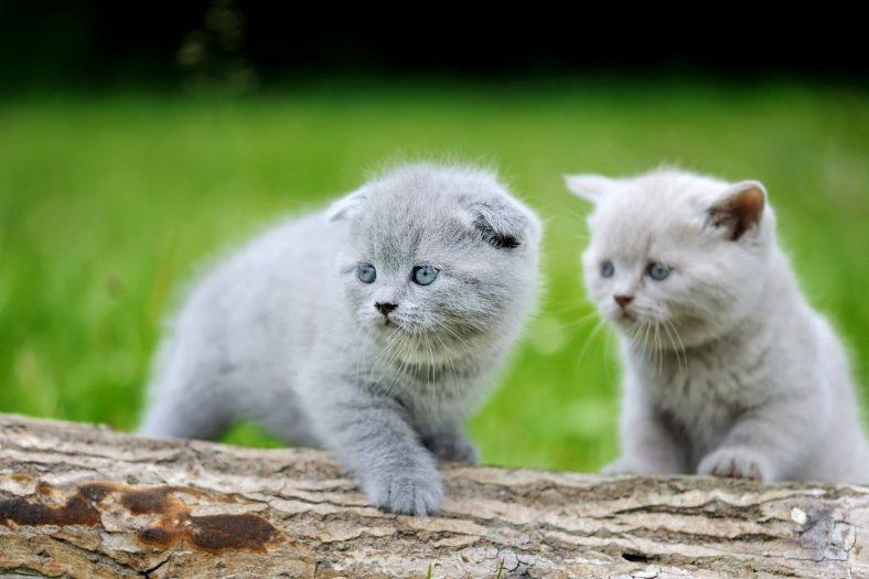Scottish Fold: Bakımı En Kolay Kedi Cinsi