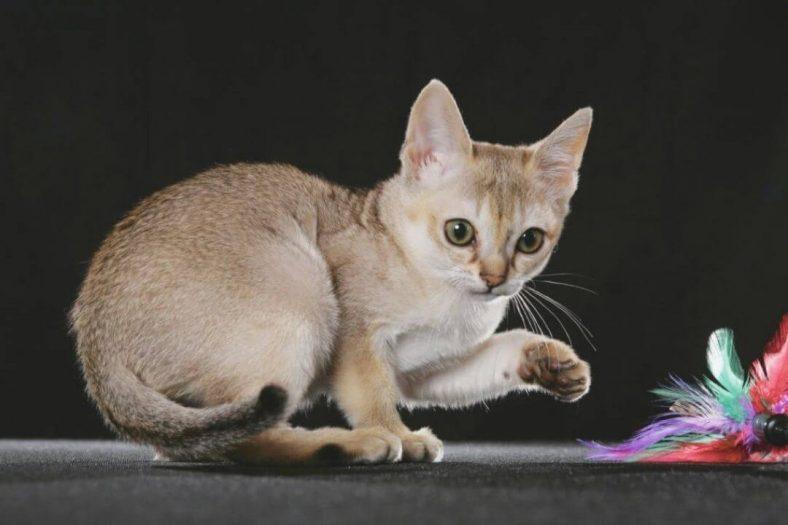 Singapura Kedisi: Dünyanın En Küçük Kedi Cinsi