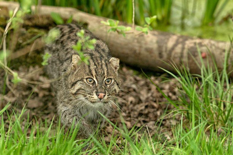 Vahşi Balıkçı Kedi