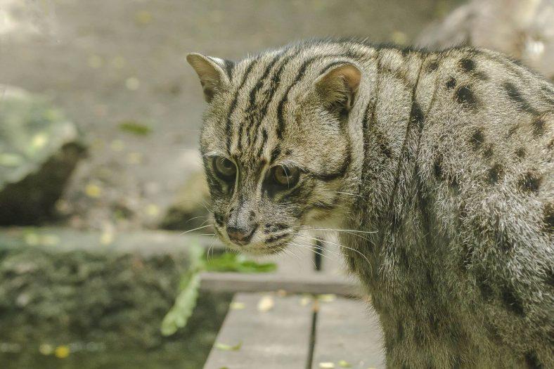Yabani Balıkçı Kedi