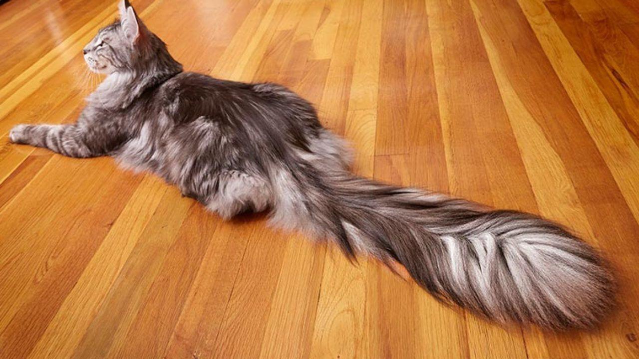 En Uzun Kuyruklu Kedi