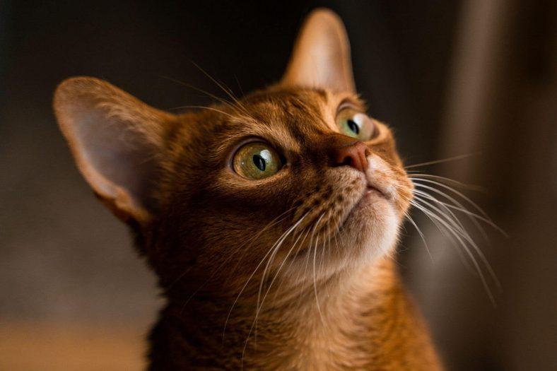 Habeş Kedisi: En Çok Satılan Kedi Cinsi