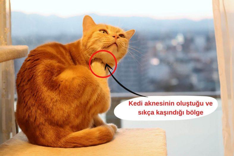 Kedi Aknesi Belirtileri ve Tedavisi