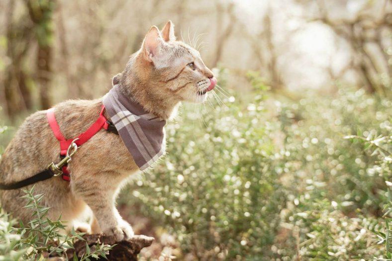 Kedi Tasma ile Gezdirilir mi?