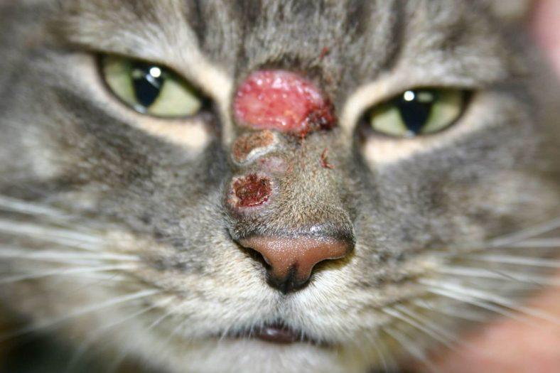 Kedilerde Egzama Nedenleri ve Tedavisi