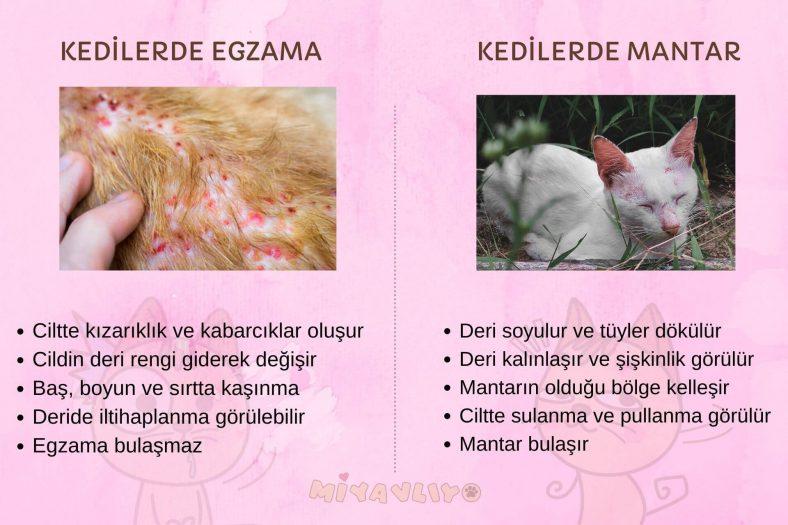 Kedilerde Egzama ve Mantar Farkı