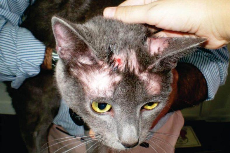 Kedilerde Saçkıran Belirtileri