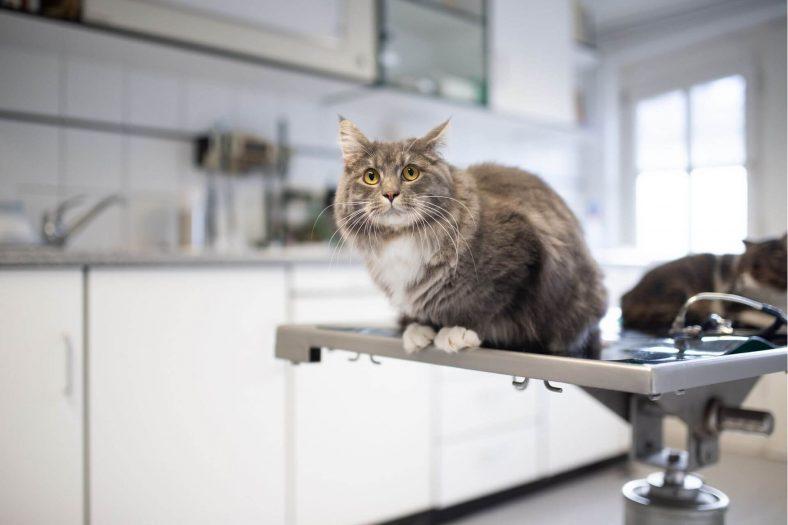 Kedilere Kuduz Aşısı Ne Zaman Yapılır?