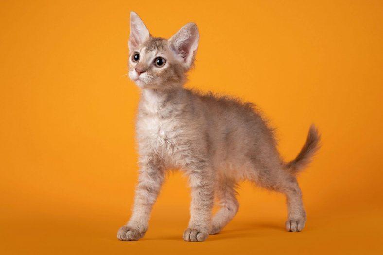 Laperm Kedi