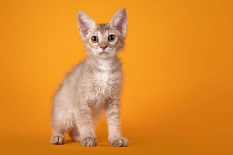 Laperm Kedi Cinsi