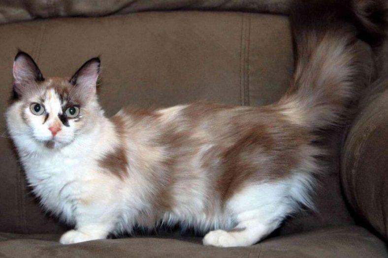 Napolyon Kedi Cinsi