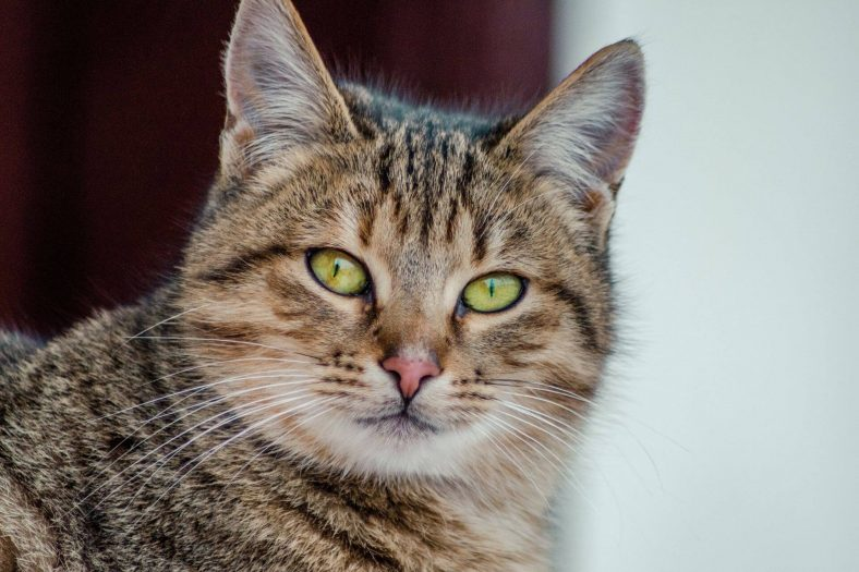 Tekir Kedi: Türkiye'de En Çok Görülen Kedi Irkı