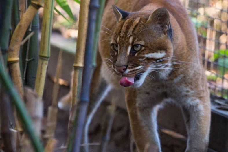 Borneo Altın Kedisi Davranışı