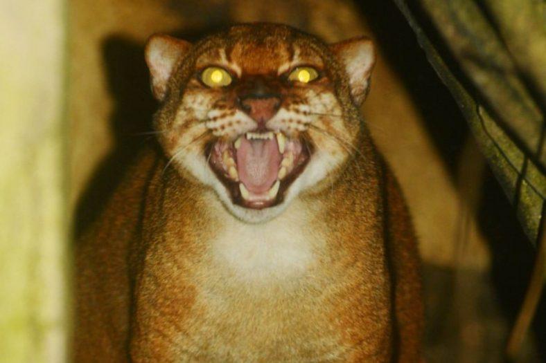 Borneo Altın Kedisi Özellikleri