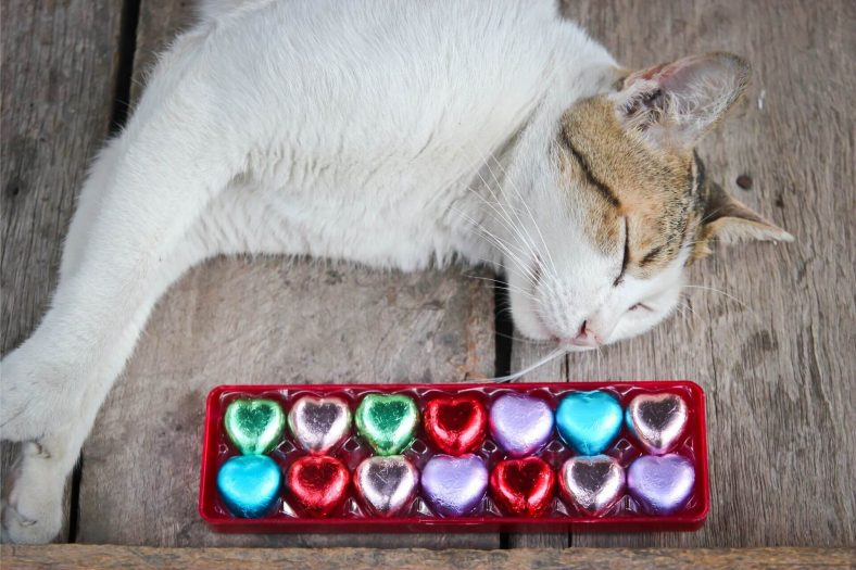 Kedi Çikolata Yerse Ne Yapılmalı?