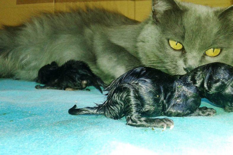 Kedi Doğum Sonrası Kanama Süresi