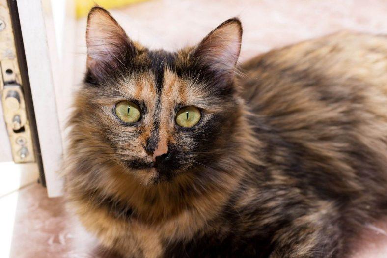 Kedi Göz Rengi