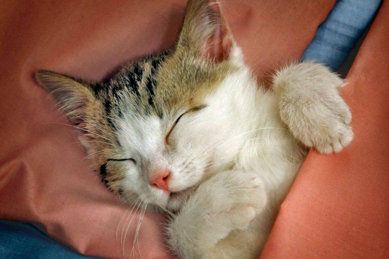 Kedi Lösemi Aşısı Sonrası