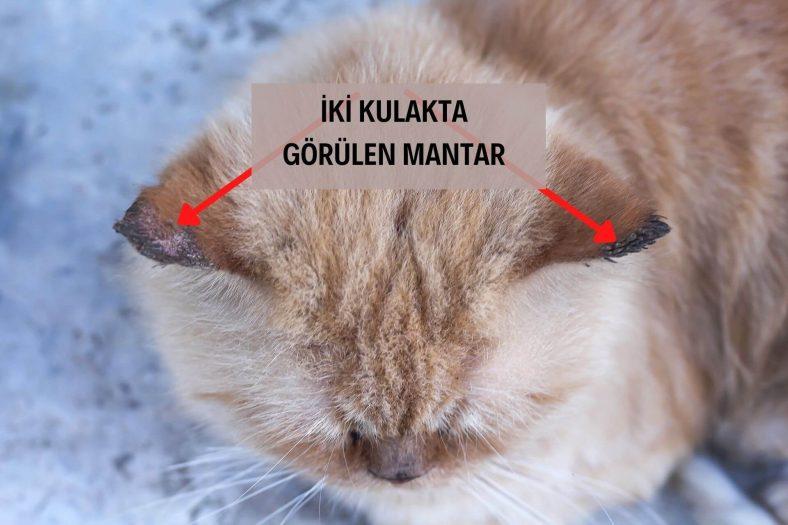 Kedide Kulak Mantarı