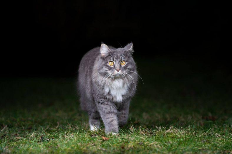Kediler Gece Görür mü?