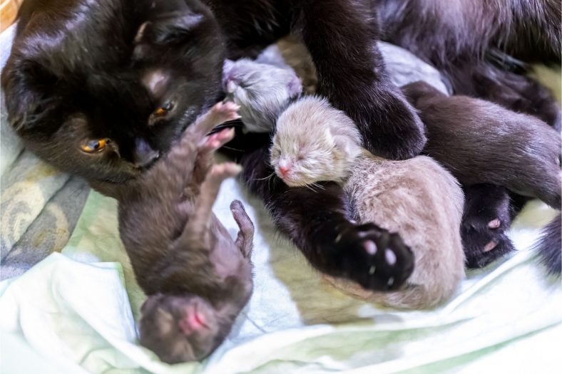 Kedilerde Doğum Sonrası Kanama