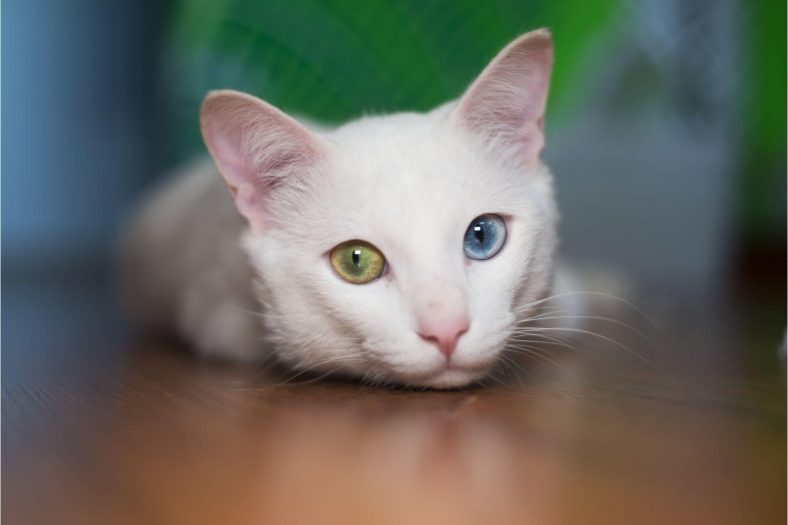 Kedilerin Göz Rengi Değişir mi?