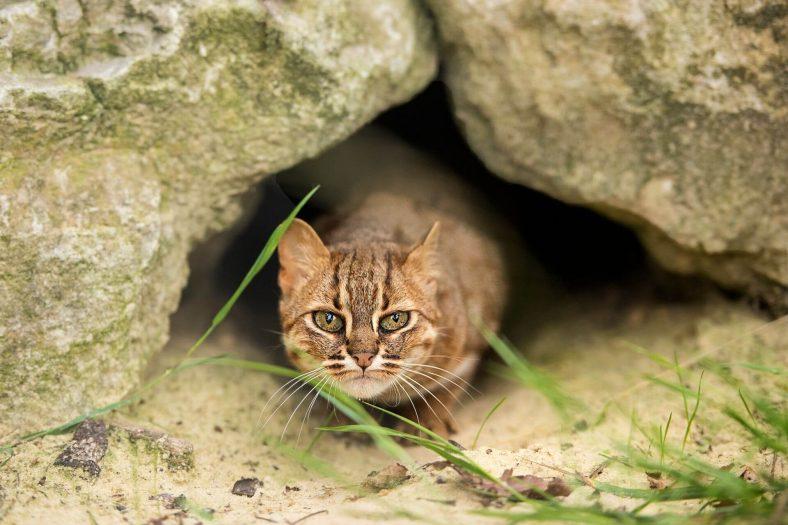 Paslı Kedi Davranışı