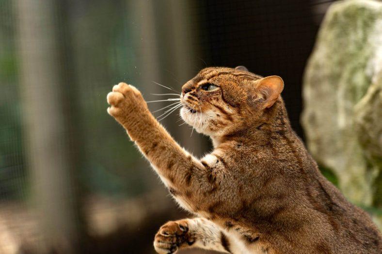 Paslı Kedi Koruma Durumu