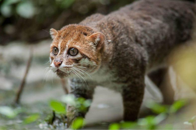 Yassıbaş Kedi Özellikleri