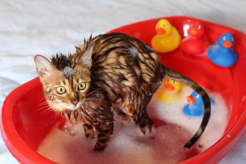 Yavru Kedi Yıkanır mı?