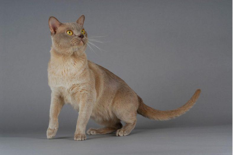 Burmese Kedi