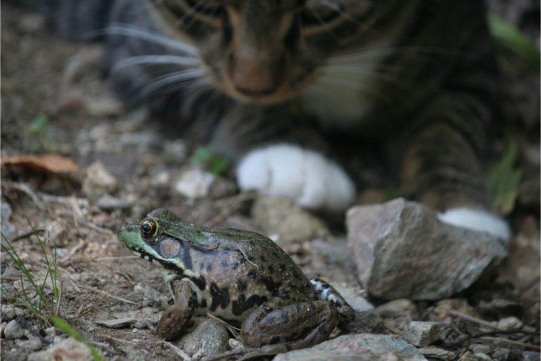 Kedi Kurbağa Yerse Zehirlenir mi?
