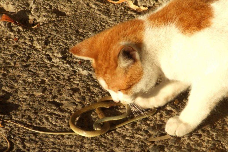 Kedi Yılan Yerse Ne Olur?