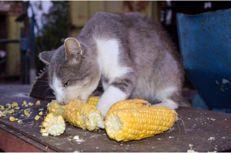 Kediler Mısır Yiyebilir mi?