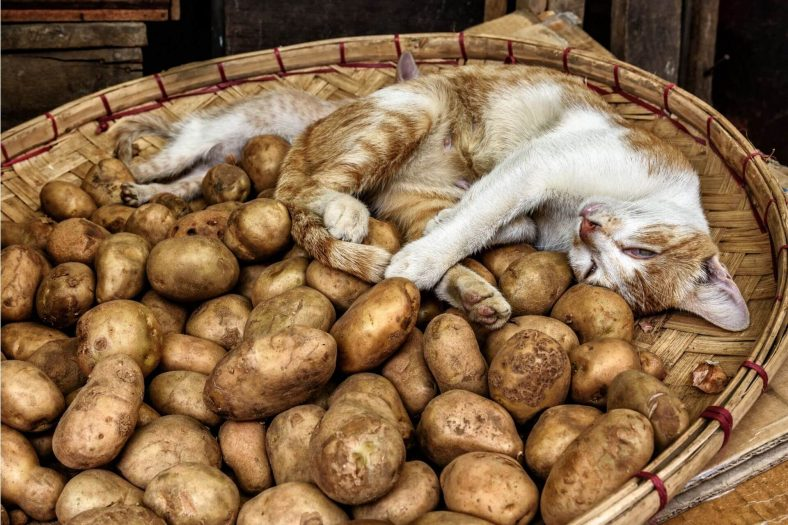 Kedilere Çiğ Patates Verilir mi?