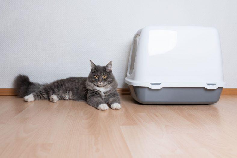Kedilerin Kum Kabı Dışına Tuvaletini Yapması